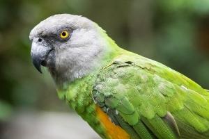 grey-headed Parrot