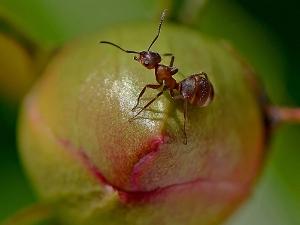 Ameise auf Blütenknospe_1