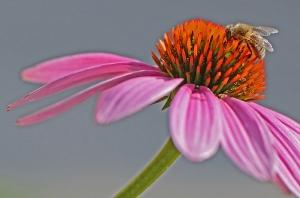 Biene auf rosa Sonnenhut_1
