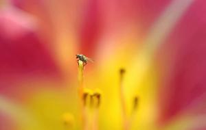 Blütenkraxler in Pfingstrose