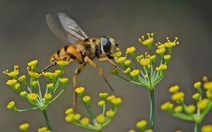 Fliege im Dillkraut_1