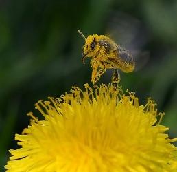 Löwenzahn mit Biene_1
