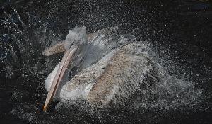 Pelikanbad