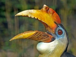 Runzelhornvogel_1