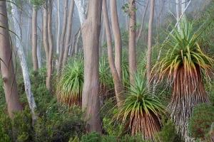 Pandani-Tasmanien