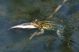 Wasserfrosch mit Fisch