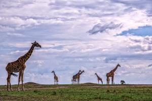 Giraffenversammlung