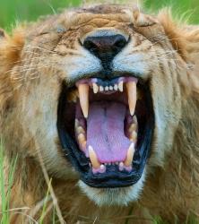 Löwenmaul