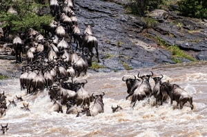 Wildebeast Migration_1