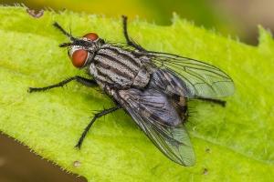 Fliege_1