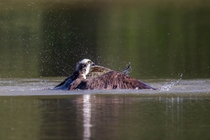 Fischadler 1_1