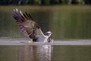Fischadler 2_1