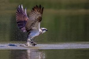 Fischadler 3_1