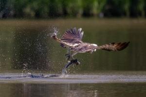 Fischadler 4_1
