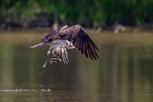 Fischadler 5_1