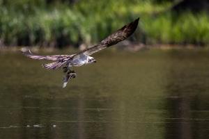 Fischadler 6_1