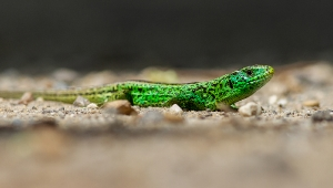 Smaragdeidechse_1