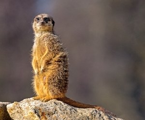 Suricata suricatta_1